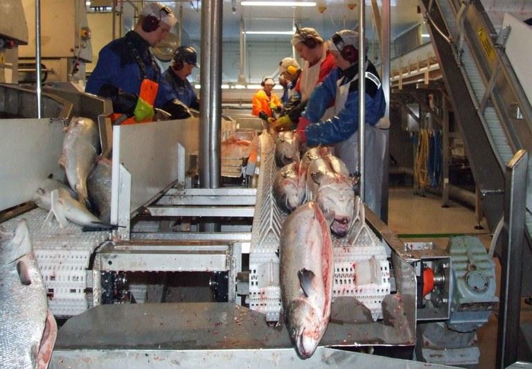 Fiskeindustri Marine Harvest 3